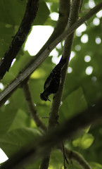 Upside Down (dzmears) Tags: bird birds green wildlife trees tree woodpecker