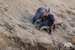 River Otters (fascinationwildlife) Tags: animal mammal wild wildlife winter river otter fischotter morning point reyes nature natur national seashore california usa america dune banks abbots lagoon