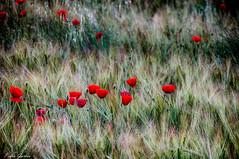 Amapolas (Peideluo) Tags: primavera naturaleza nature flowers campo popies