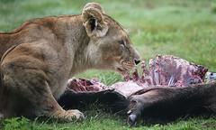 Lioness' dinner (asterix_93) Tags: portrait beauty closeup nikon model meat lion dinner lioness feline flesh d810