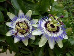 Passionsblumen (Gertrud K.) Tags: flowers white blue passiflora passifloraceae macro