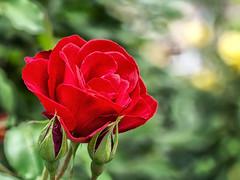 Birthday Rose | Geburtstagsrose (Silke Klimesch) Tags: 7dwf flora 2107 rose rosa bokeh dof depthoffield ruusu τριαντάφυλλο gül ро́за 玫瑰 flower blume fleur flor fiore kwiat λουλούδι çiçek цвето́к 花朵 red rot rouge rosso rojo vermelho green grüne vert verde königlichegartenakademie berlin dahlem olympus omd em5 mzuikodigitaled60mm128macro microfourthirds nikcollection