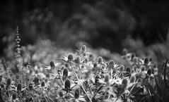 Eryngium, RHS Wisley (tonybill) Tags: flowers gardens july miscellaneous rhs rhswisley sonya7ii sunshine surrey wisley zeissaposonnar135mmf2 bokeh