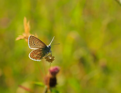 Common Blue (Polyommatus icarus) (microwyred) Tags: landscape events nature flower lepidoptera colorimage beautyinnature butterflyinsect outdoors animal closeup flying summer greencolor macro insect butterfly multicolored commonblue gatekeeper landscapes plant wildlife yellow springtime animalwing