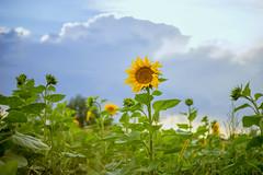 (kuuan) Tags: mf manualfocus m42 yashinon autoyashinonf25cm flower sun clouds field sunflower mostviertel austria