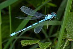 Rolf_Nagel-Fl-3321-Enallagma_cyathigerum (Insektenflug) Tags: enallagmacyathigerum commonbluedamselfly gemeinebecherjungfer becherazurjungfer almindeligvandnymfe enallagma cyathigerum common blue damselfly gemeine becherjungfer almindelig vandnymfe libelle libellen odonata zygoptera im fliegend flying flight airborne moor bog wildlife nature animal animals wild freilebend camera insects wilhelmshaven deutschland eos fauna fliegen flug germany natur naturfoto naturfotografie niedersachsen insekt insekten kamera zoologie insect imflug inflight insektenflug minoltaerokkor75mm erokkor minolta rokkor 75mm envole en vole