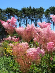 Queen of the Prairie, Venustra Flowers (moonjazz) Tags: pink plants flowers nature garden venustra queenoftheprarie mendocino california color photography beautiful soft bloom travel bontany art fluffy