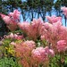 Queen of the Prairie, Venustra Flowers
