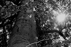 Tree 2 (Von Noorden her) Tags: lübeck waldhusen forst wood forrest baum bäume tree trees cascades landscape timber nature natur leaves leave blatt blätter äste branch branches schleswigholstein deutschland black white blackandwhite bw sw schwarzweiss colour summer spring sommer frühling herbst autumn moos moss landschaft oaktree oak shines