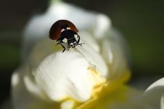 le reposoir (Doriane Boilly Photographie Nature) Tags: coccinelle blanc fleur jardin prairie