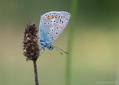 _AAH6585 (De Hollena) Tags: argusbleu blauwtje bläuling butterfly commonblue hauhechelbläuling icarusblauwtje mariposa papillon polyommatusicarus schmetterling
