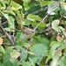 Warbler...? - Common Yellowthroat - juvenile (kenyoung3) Tags: geothlypistrichas warbler bird woodwarbler deltabccanada