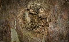 in plain sight (dustaway) Tags: arthropoda arachnida araneae araneomorphae thomisidae stephanopinae stephanopis barkcrabspider crypsis camouflage concealment australianspiders lismorerainforestbotanicgardens lismore northernrivers nsw nature australia australianwildlife