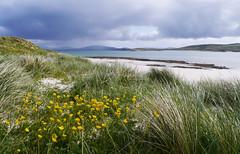 Saltainis, Barra (Niall Corbet) Tags: scotland outerhebrides hebrides barra sea coast beach dune buttercup ranunculus