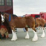 Clydesdales and Man With Fancy Umbrella thumbnail