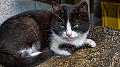 Sguardo felino (giannipiras555) Tags: gatto