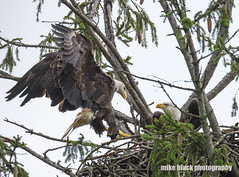 Bald Eagles at NJ shore (Mike Black photography) Tags: bald eagle eaglet bird nature big year birding raptor canon mike black nj new jersey shore photo photography trees belmar shark river white feathers flying green nest