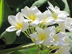 PLUMERIA RUBRA (Patchwork Daily Desire) Tags: cuba tropical flowers plants flower green plumeria delonix bougainvillea patchworkdailydesire light summer