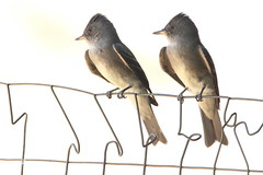 Western wood-pewee (jlcummins - Washington State) Tags: westernwoodpewee bird washingtonstate yakimacounty backyardbirds home nature