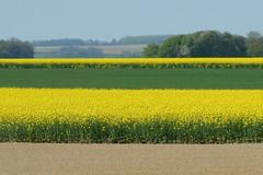 Rayures (JDAMI) Tags: couleurs jaune vert colza blé ciel santerre picardie somme 80 france champs agriculture lamottewarfusée nikon d600 tamron 2470 bandes