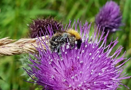 20170708_115401 Common Carder Bee, Bombus pascuorum 1, Cefn Ila