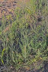 CAD0010905a (jerryoldenettel) Tags: 170421 2017 brassicaceae brassicales jimhillmustard kirtland nm rosids sanjuanco sisymbrium sisymbriumaltissimum tumblemustard wildflower flower mustard