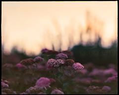 VERY expired 120 film (kodacolor ii from 1983!) | pentax 6x7 medium format | rocky mountains at twilight (*AndrewYoungPhoto* (writing_with_glass)) Tags: macroextensiontubeno1 boulderco rockymountains frontrange kodacoloriiexpired1983 outdoor flowers urban nature landscape red orange street summer dusk overcast daylight light twilight july2017 quiet calm stillness meditation mindfulness peaceful presence posted20170724 copyrightandrewlyoung iso100 asa100 colorprintfilm c41 analogfilm 120film mediumformat mf 6x7 pentax67 105mmf24 50mm11equivalentin35mmfilmformat pentax supermulticoated smc takumar 105mm 24bokehdepth fieldshallow dofshallow depth fieldmanual focusweb online media color gamut output handheld130sec