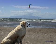 Barassie Kite Dog (g crawford) Tags: crawford ayrshire southayrshirebarassiewindsurfingkiteskitesurfingdogmammalarranclydesouth