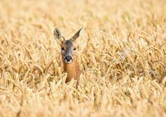 Roe deer (George Findlay) Tags: roe deer doe wheat nikon field sigma ayrshire