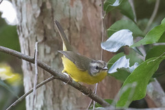 Golden-crowned Warbler (Bufflehead66) Tags: brazil woodwarbler