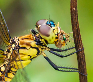 Dragonfly devours a bee for breakfast!!