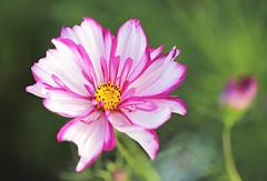Cosmos 'Candy Stripe' (Through Serena's Lens) Tags: white pink garden outdoor plant colorful dof bokeh flower candystripe cosmos eos6dmarkii canon closeup
