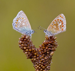 Common Blue - Polyommatus icarus (Ivan Lynas Nature Photography) Tags:
