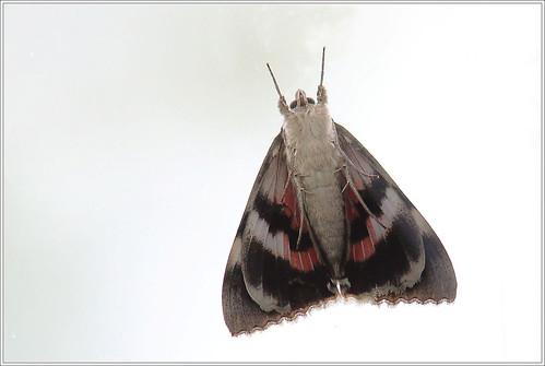 Eulenfalter (Noctuidae)