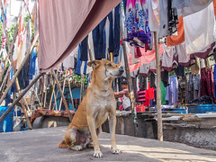 Mumbai 2015 (hunbille) Tags: birgittemumbai1lr india mumbai ghat malabarhill malabar hill washing laundry dhobi wallah dog bombay walla wala dhobiwalla
