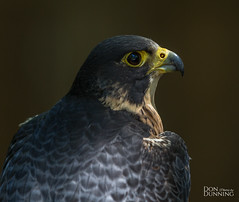 Peregrine Falcon (Falco peregrinus) (Don Dunning) Tags: animals birds britishcolumbia canada canadianprovince falcon northcowichan peregrinfalcon raptor raptorcentre vancouverisland