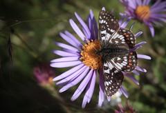 papillon et aster (bulbocode909) Tags: valais suisse fleurs papillons insectes nature montagnes jaune valdanniviers