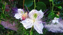Fiore di cappero (ddgp) Tags: câpre caper summer estate flower velvet white bianco viola sommer été