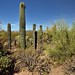 A Setting of Palo Verde and Saguaro Cactus
