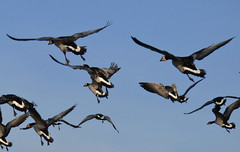Barnacle Geese (Peanut1371) Tags: barnacle geese goose sky nationalgeographicwildlife