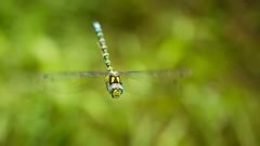 Blaugrüne Mosaikjungfer (Sebo23) Tags: blaugrüne mosaikjungfer liebelle dragonfly macro makro makrofotografie nature naturaufnahme flight flug canon6d canon10028l