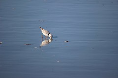 Passing Through (crystalinman) Tags: birds nature wildlife pipingplover shore ocean beach water blue reflection bird