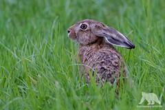 European Hare (fascinationwildlife) Tags: animal mammal europe european hare hase feldhase grass field wild wildlife nature natur deutschland germany schleswig holstein nordfriesland north coast dusk cute