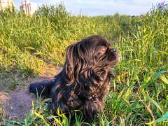Зверушки 0388 (2016.05.21) (vladsky78) Tags: ильичёвск животные зелень поле собака