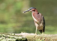 Green Heron (JDA-Wildlife) Tags: birds nikon nikond7100 tamronsp150600mmf563divc jdawildlife johnny portrait closeup heron herongreen greenheron wow