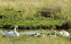 Swan family (Sharon B Mott) Tags: swans cygnets birds waterfowl britishwildlife wildlife nature adwicknaturereserve july summer southyorkshire