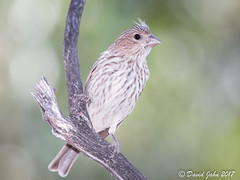 House Finch (Haemorhous mexicanus) (David A Jahn) Tags: contracostacounty california house finch bird haemorhous mexicanus