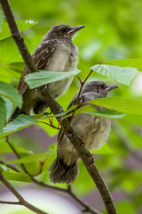 20170610-IMGP9027.jpg (Yunhyok Choi) Tags: feather beak tree nature brownearedbulbul wing nest summer bird wildlife fledgling animal hwaseongsi gyeonggido southkorea