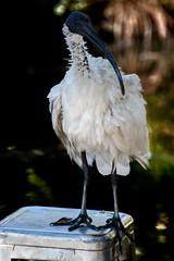 An Ibis. This one stole my lunch. (Moxibustion) Tags: birds botanicalgardens flowers sydneybotanicalgardens wildlife