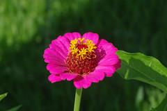 DSC01696 (gregnboutz) Tags: flower bloomingflower flowers bloomingflowers brightflowers colorfulflower colorfulflowers gardenflowers macro macros colorfulmacro colorfulmacros macroflower macroflowers